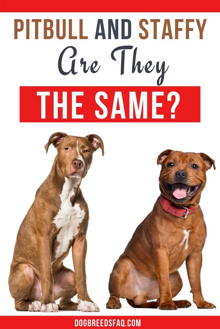 Are Pit Bulls And Staffies The Same Dog Breeds Faq Pitbulls Black And Tan Terrier Staffy Dog