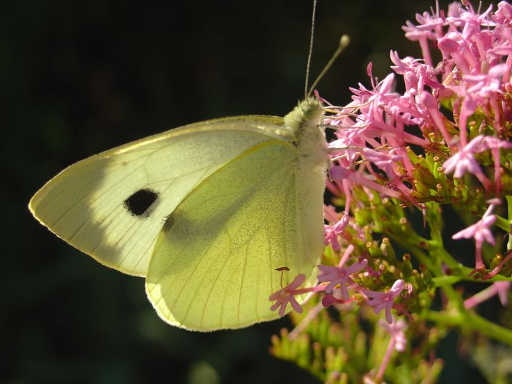Eh oui, les lilas attirent les jolis papillon