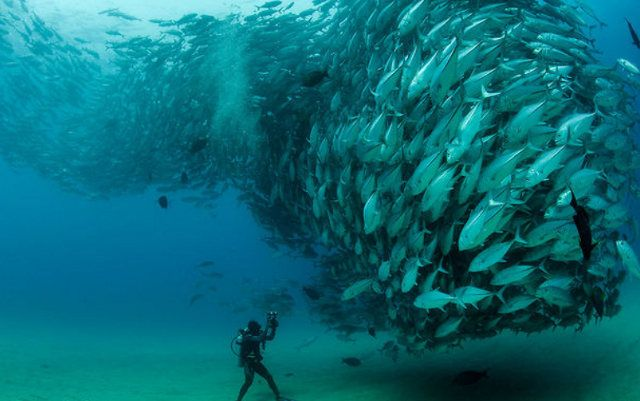 Amazing tornado of Jack fish in the waters of Cabo Pulmo National Park in Mexico captured bymarine biologist Octavio Aburto.