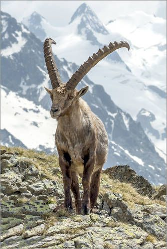 Alpine Ibex in a mountain landscape in the Engadine Region, Switzerland