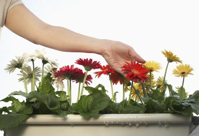 Fight Gerbera Daisy Fungus With Household Materials On The Cheap Gerbera Plant Gerbera Daisy Gerbera