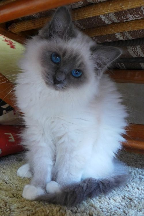 Birman Cats at www.coolcattreehouse.com