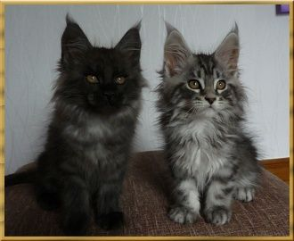 Maine coon cat breeders lancashire