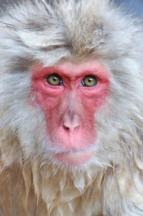 Snow Monkey Portrait - A portrait of a bathing Japanese macaque (snow monkey) in a hot spring in the mountains of Japan.