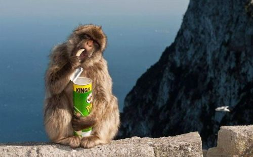 Harvestheart Macaques In Japan Know How To Use Vending Machines - Monkey knows how to operate vending machine