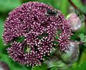 Angelica gigas (Korean angelica) (c) Hardyplants at English Wikipedia (Own work) [Public domain], via Wikimedia Commons