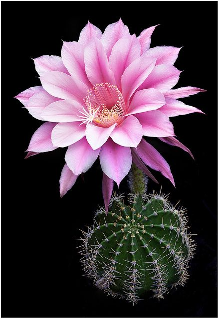 """Echinopsis hybrid """"Eroica"""". For years I had one like this with a white flower."""