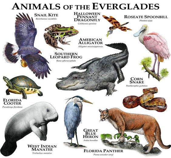 Animals of the Florida Everglades by rogerdhall on DeviantArt