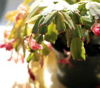 Pinterest watering plants christmas cactus care and african violet