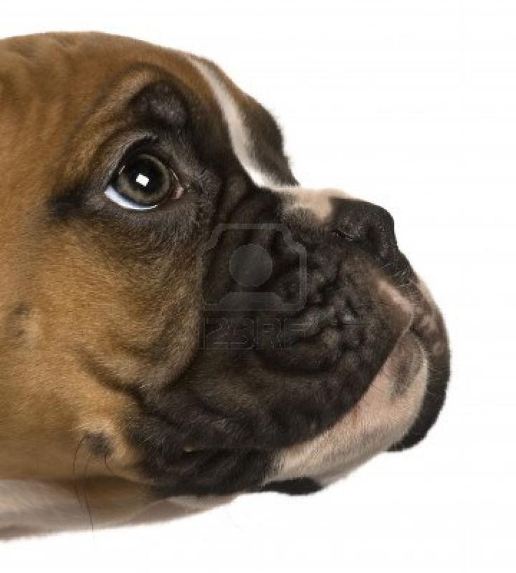 Cachorro Boxer, 2 meses de edad