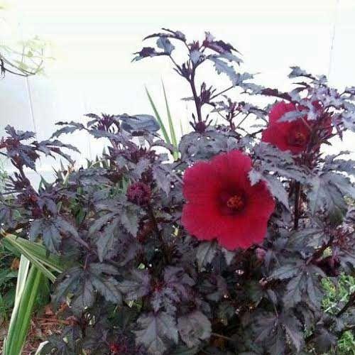 Hibiscus Acetosella Mahogany Splendor The Goth Garden Hibiscus