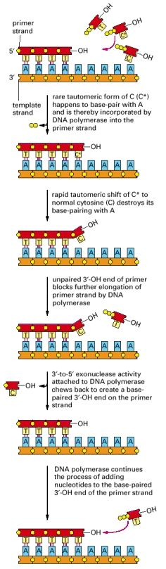 Figure 5-9, Exonucleolytic proofreading by DNA polymerase during DNA replication - Molecular Biology of the Cell - NCBI Bookshelf