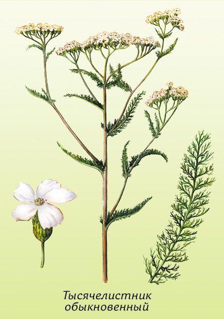 полевые растения рисунок: 11 тыс изображений найдено в Яндекс.Картинках