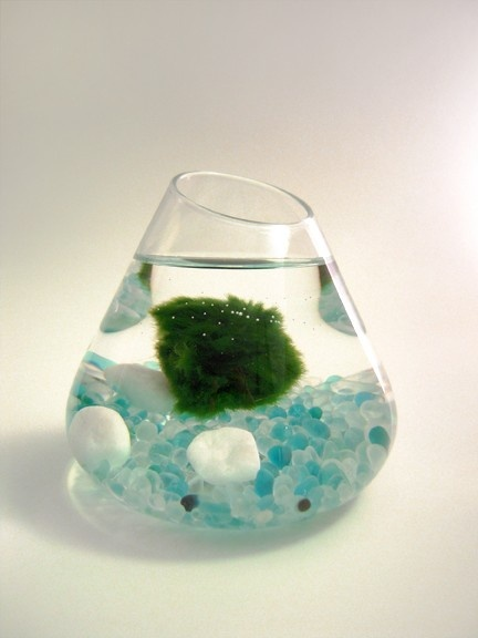 I want a Marimo Ball pet so bad! They're moss balls that