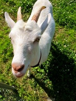 It's Animal Day, So Here is another great article for those thinking about getting a Goat: (I love goats BTW)