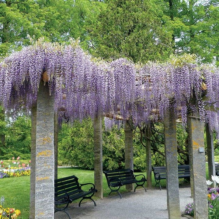 Thetreecenter Posted To Instagram Blue Moon Wisteria Is A Stunning Addition To A Backyard Patio Area Enjoy Plan Wisteria Plant American Wisteria Wisteria