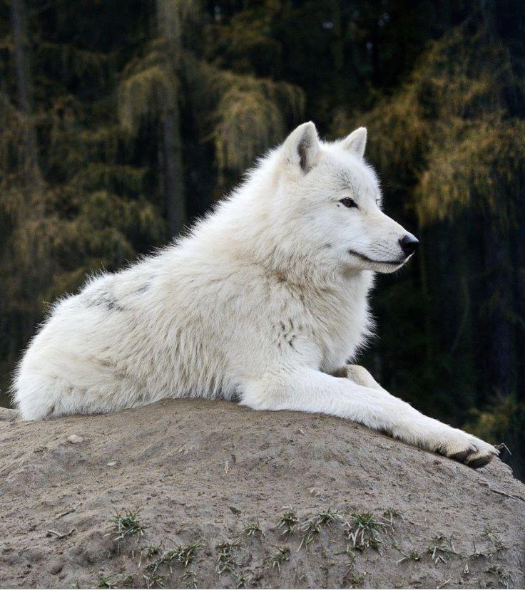 Белый волк картинки 5 класс, мама картинки стихи