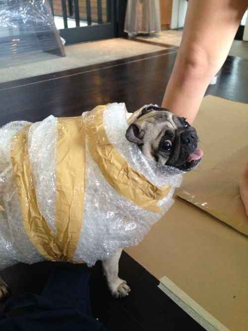 Bubble-Wrapped Present Pug. | 26 Costumes That Prove Pugs Always Win At Halloween