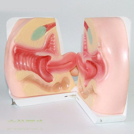 Female contraception guidance Model Female reproductive model inside and outside Vaginal model Genital model