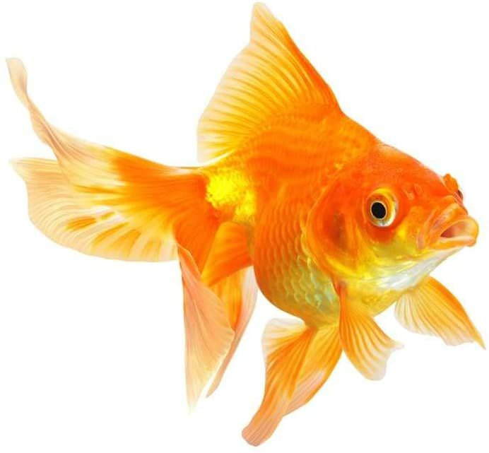 Gold Fish Aquarium Fish Fish Goldfish