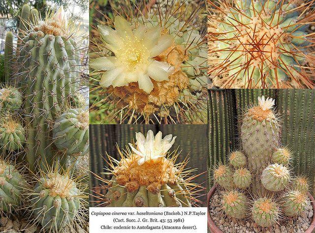 Copiapoa cinerea var. haseltoniana (collage) | por Succulents Love by Pasquale Ruocco (stabiae)