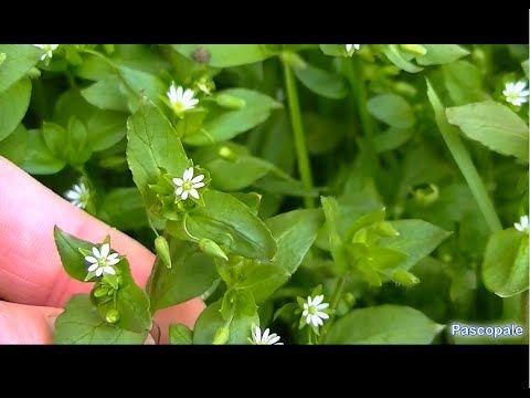Voici quelques Plantes sauvage comestible et médicinale - YouTube