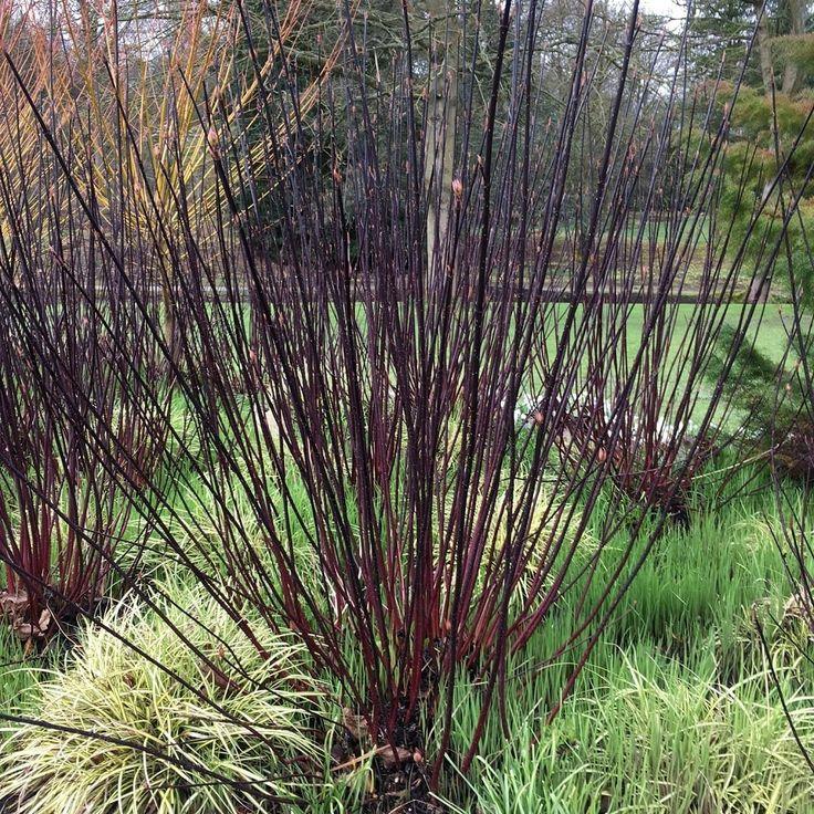 Cornus alba 'Kesselringii' bush