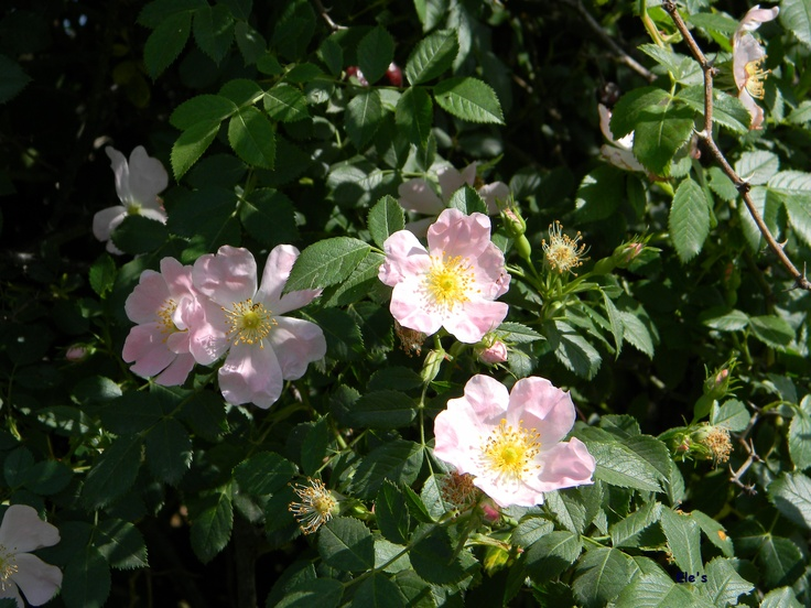 rosa canina, fiore antico!  http://www.ondetour.net/pasqua-e-pasquetta-la-fai-apre-i-giardini-segreti/