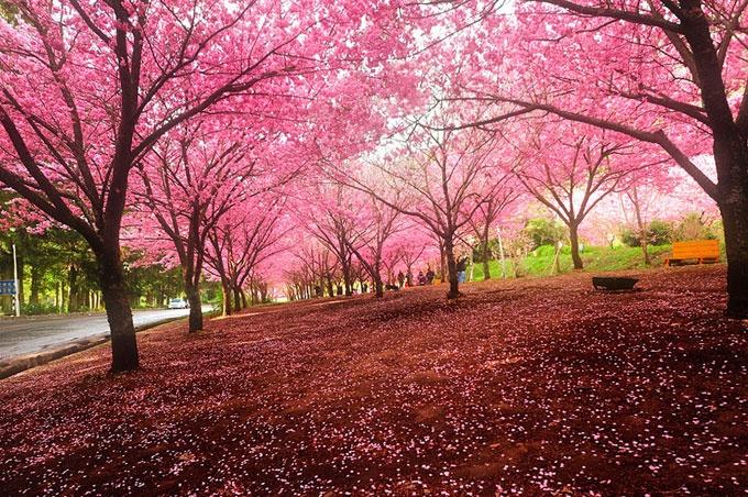 World's most beautiful cherry blossoms