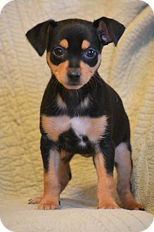 Southington, CT - Miniature Pinscher Mix. Meet Sundae, a puppy for adoption. http://www.adoptapet.com/pet/14841615-southington-connecticut-miniature-pinscher-mix