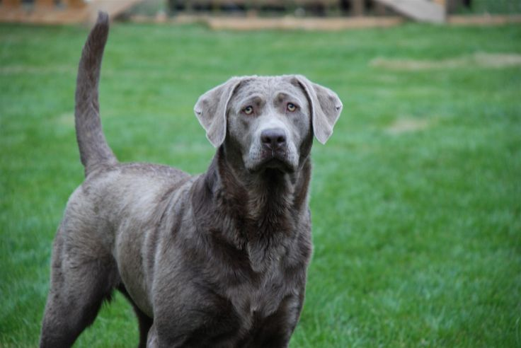 Silver Lab | home contact us our family dogs silver labs of saratoga silver labs ...