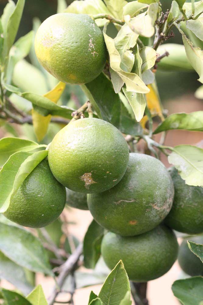 best healthy fruit tropical fruit forum
