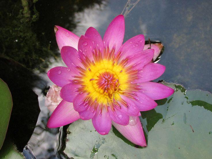 Flor de loto en abril #paoFotografía