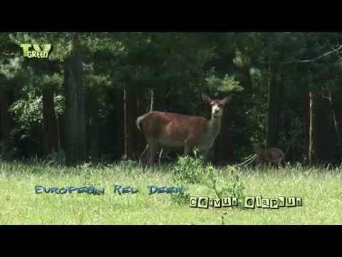 Red Deer - Edelhert (Cervus elaphus) - YouTube