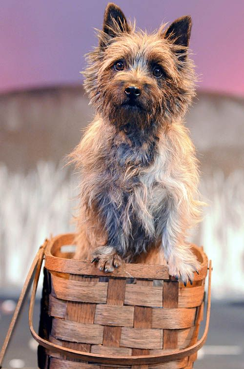 """Nigel stars as Toto in Woodland Hills' performance of """"The Wizard of Oz."""""""