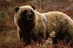 Google Image Result for http://upload.wikimedia.org/wikipedia/commons/thumb/e/e2/Grizzlybear55.jpg/250px-Grizzlybear55.jpg