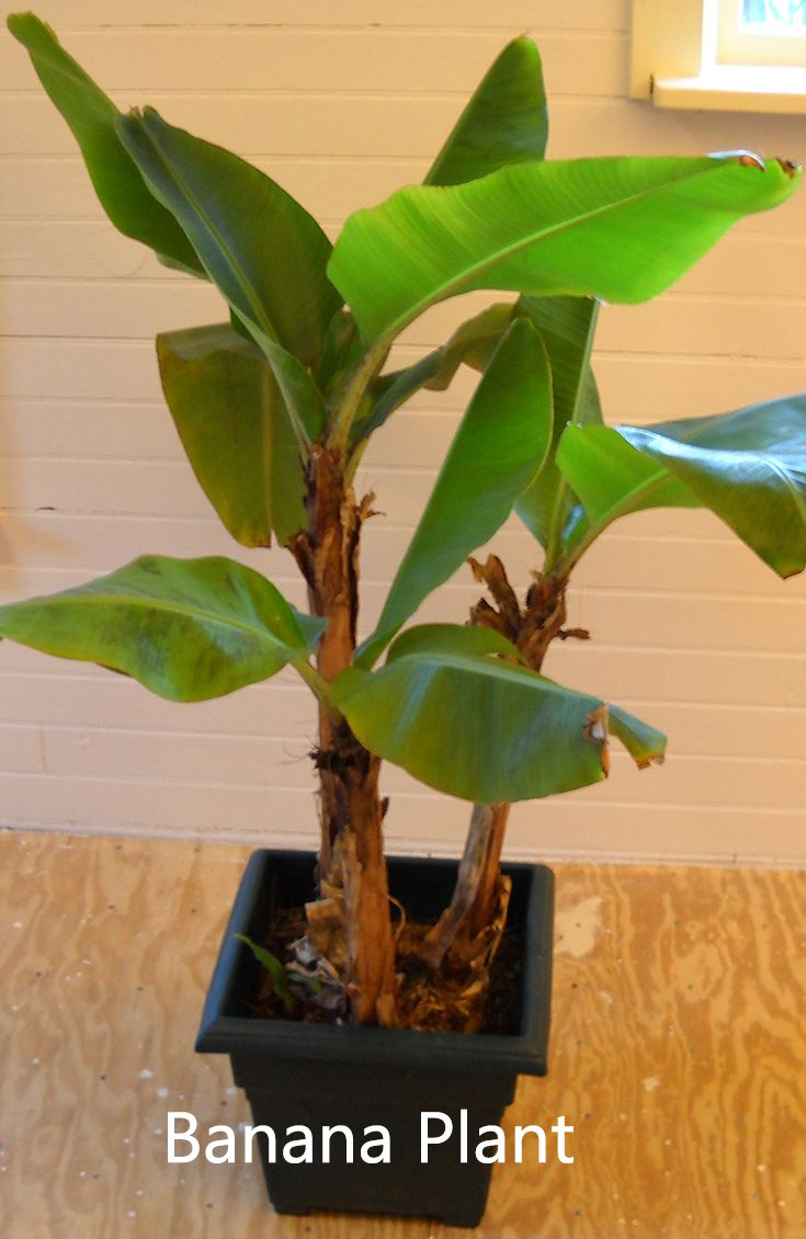 String of banana plant care - 10 Best Fruits To Grow In Your Pots