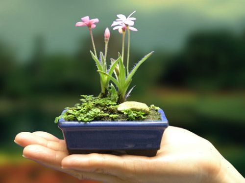 Miniature Glamorous Bonsai - Indoor Flowering Bonsai for Her - List price: $24.95 Price: $18.50