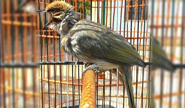Harga Burung Cucak Rowo Papua Di 2021 Burung Pengicau Burung Jenis
