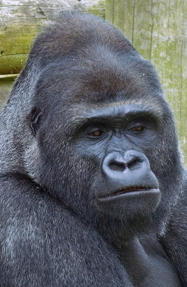 23 best images about Gorillas on Pinterest | Albino ... | 600 x 919 jpeg 325kB