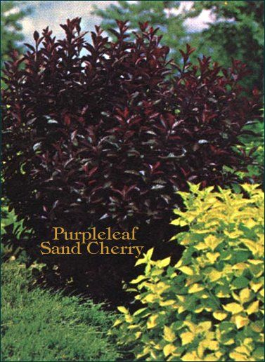 Purple Leaf Sand Cherry | Try cutting up to one quarter of the most mature branches annually to open its center and promote new growth. Cut back new growth from the previous year, leaving about 2 inches of the new growth on each branch. Prune the new growth branches directly above an outward-facing bud to encourage the bush to grow branches out from the center of the plant.