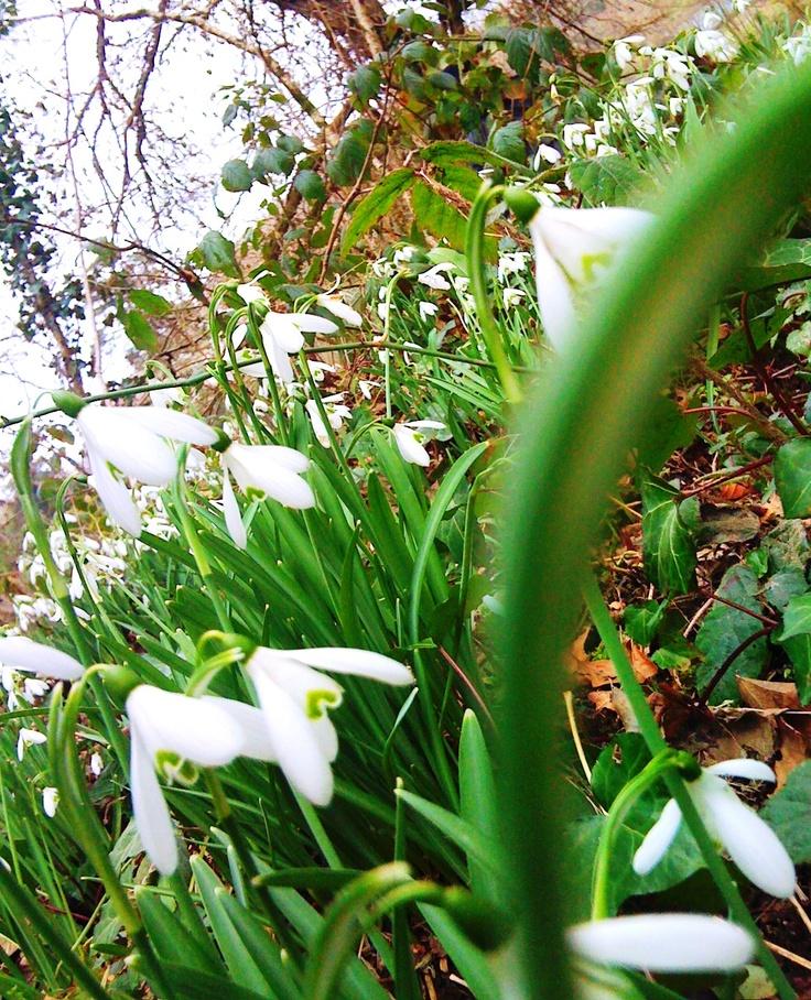 So many snowdrops..: Spring