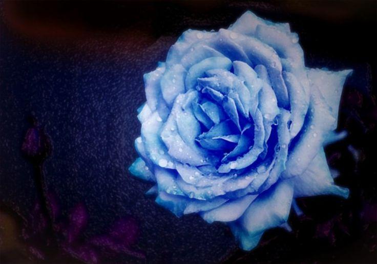94 besten blaue r o s e bilder auf pinterest sch ne blumen lila rosen und exotische blumen. Black Bedroom Furniture Sets. Home Design Ideas
