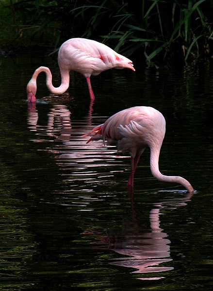 Flamingos.: Painting