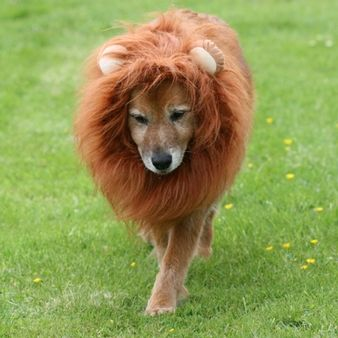 Big Dog - Lion Costume.  These quality Lion wigs with ears are so much fun - for scaring the postman or for parties.  Available in two colours.
