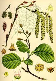 Olše lepkavá - Alnus glutinosa