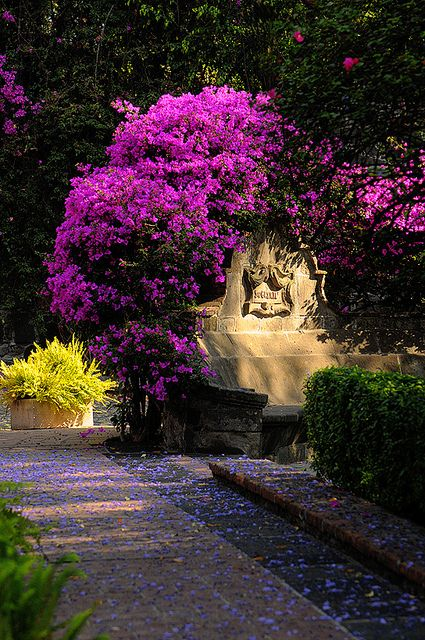 San Angel - Mexico.  The jacaranda in Mexico are both beautiful and bountiful.