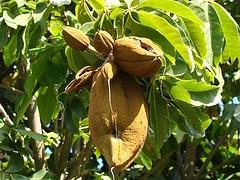 Monguba / Munguba / Mamorana Fruits / Castanha-do-Maranhão (Pachira aquatica) Brazilian tree