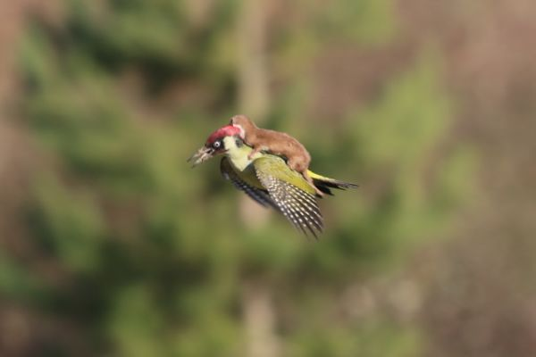 This is a weasel riding a woodpecker... No, not riding- it is trying to EAT the damn woodpecker..wtf?!