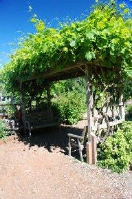 grape trellis | How to tend a Grape Vine Growing on a Trellis